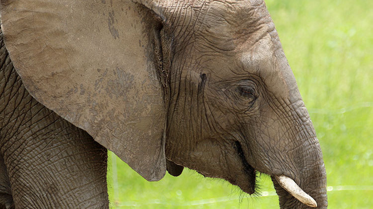 4th Indianapolis Zoo Elephant Contracts Deadly Virus