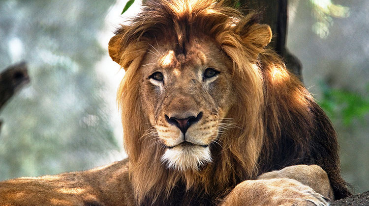 Female Lion Kills Longtime Mate At Indianapolis Zoo