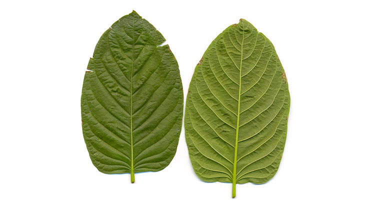 Kratom leaves. - Manuel Jebauer/CC-BY-SA-3.0