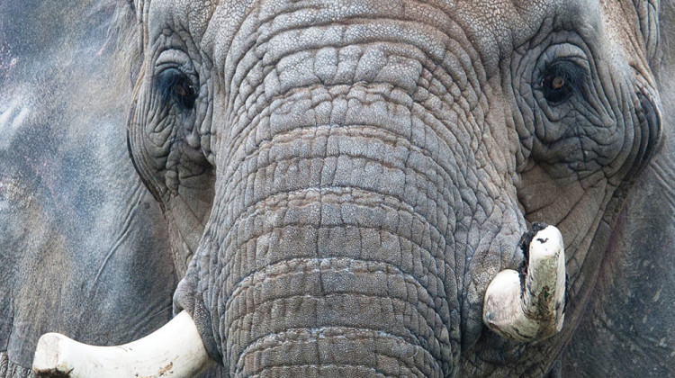 Sophi, 52-Year-Old African Elephant Dies At Indianapolis Zoo