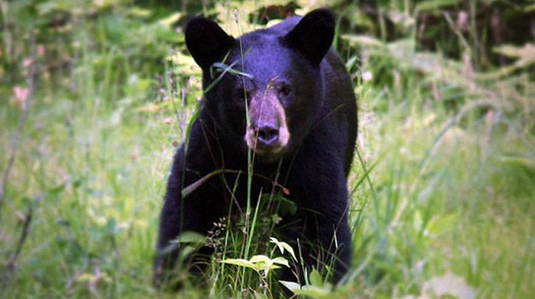 Wildlife agency: Officers Chase Off Bear In Northern Indiana