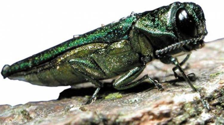 Indiana DNR Aims To Protect Ash Trees From Deadly Borer