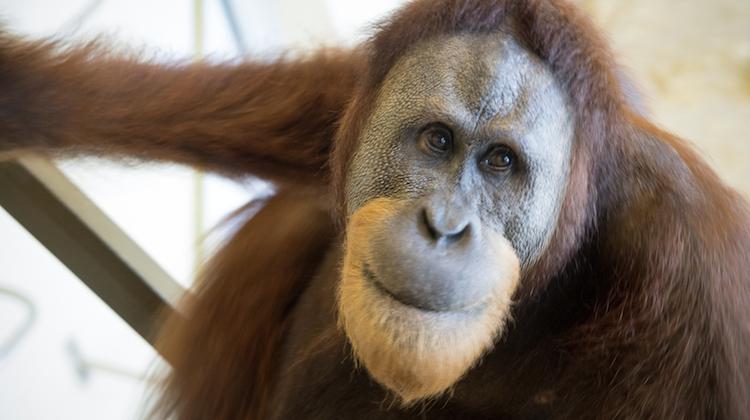 Indianapolis Zoo Study Reveals Groundbreaking Orangutan