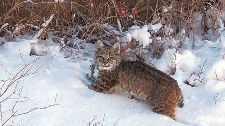 Proposed DNR Changes to allow Bobcat Hunting Brings Crowd To Public Meeting