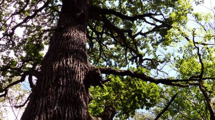 Last Ditch Effort To Save Old Growth Trees