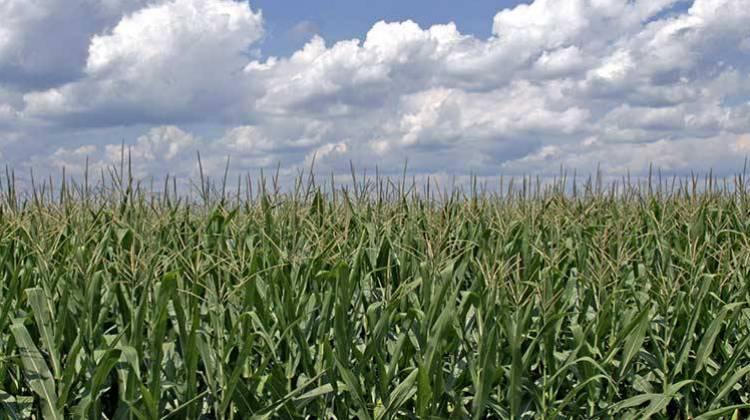 [Image: corn-field-1.jpg]