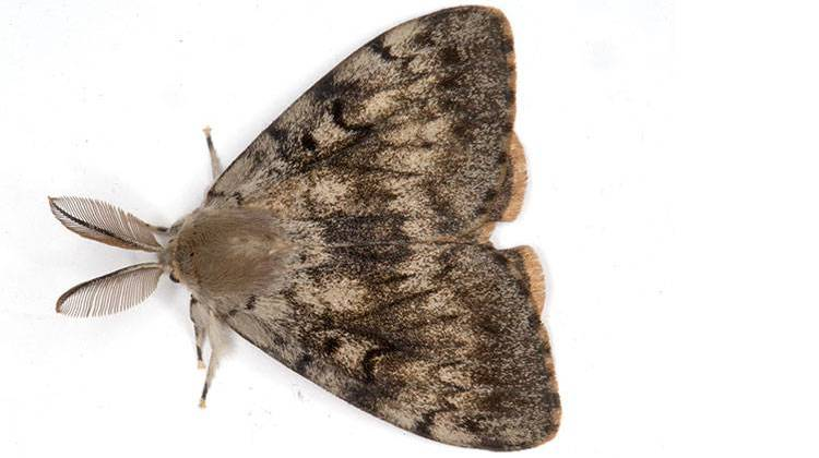 Gypsy Moth Treatments Scheduled For Northern Indiana