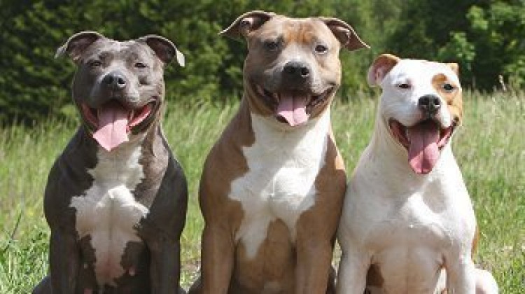 State Petition Hopes to Remove Pit Bulls From Aggressive Breed List