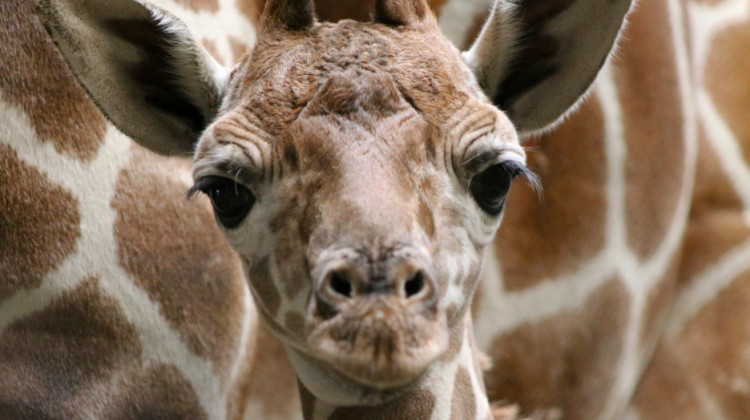 Indianapolis Zoo Has Male Reticulated Giraffe Newborn