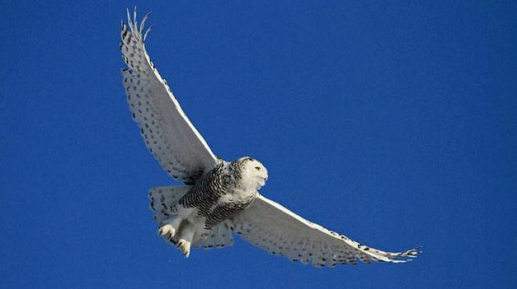 Many Snowy Owls Expected To Flock Into Midwestern States