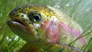 Trout Season On Indiana's Inland Streams Opens April 27