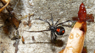 Southern Indiana Sees More Venomous Black Widows