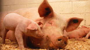 9,200-Head Hog Farm Moves Forward In Northern Indiana County