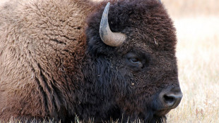 'Numerous' Buffalo Loose In Northern Indiana
