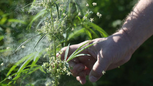 Some Indiana Farmers Uncertain Hemp Will Become Profitable