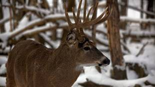 High-Fenced Deer Hunting Legislation Gaining Traction