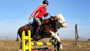 The Secret Lives Of Cows: Jumping For Joy