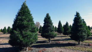 Decrease In Live Christmas Tree Purchases Aren't From Lack Of Demand