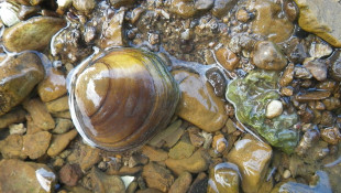 Agency Proposes Protections For 2 Eastern US Mussel Species