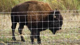 New Indiana Bison Herd To Help With Prairie Conservation