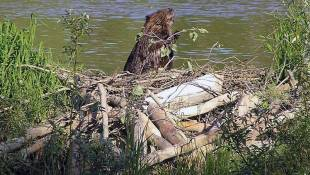 Indiana Dunes Looking For Volunteers To Bring Down 600-Foot Beaver Dam