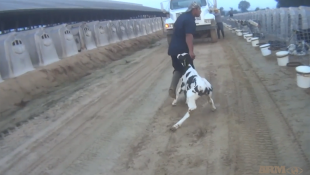 Activist Group's Video Shows Calves Being Abused At Fair Oaks Farms