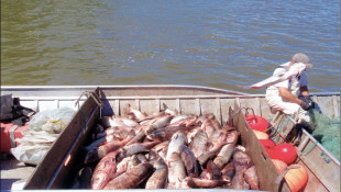 Asian Carp DNA Found In Chicago Area Near Lake Michigan