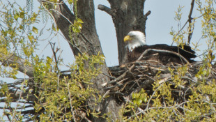 IU Study: New Flame Retardants Just As Bad As Old Ones For Bald Eagles