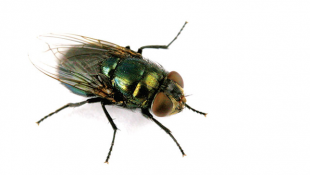 Indiana Researchers Map The Black Blow Fly Genes