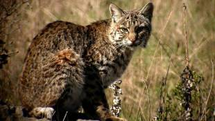 Indiana May Allow Hunting And Trapping of Bobcats