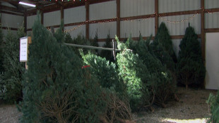 Bloomington Tree Farm Raises Prices Due To Climate Change, Demand