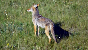 Ban Coyote Contests To Curb Deer Disease, Says Wildlife Group