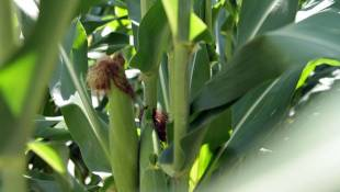 Indiana Corn Yields Expected To Drop 20 Percent From Last Year