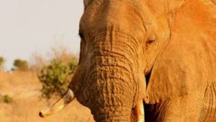 Elephant Expert Addresses Urgent Need