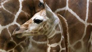 Giraffe Calf Is First Zoo Baby Of The New Year