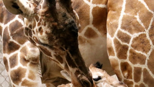 Giraffe Calf is the Indy Zoos First Female Calf Since 2000