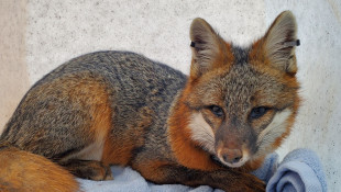 Gray Fox Research Examines Decreasing Population