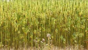 Purdue Extension To Host Industrial Hemp Production Workshop