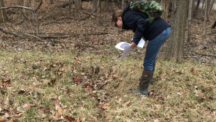 An Indiana Department of Environmental Management employee inspects an area in Hamilton County where an agricultural tile has been damaged, causing what they call an isolated wetland to form over time, 2017.  - Courtesy of IDEM