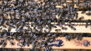 Beekeeping Bill Buzzes To Holcomb's Desk