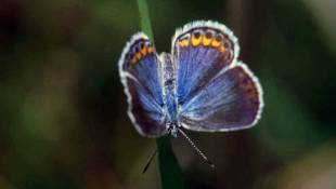 Endangered Butterfly Recovering In Some Areas, But Struggling In Indiana