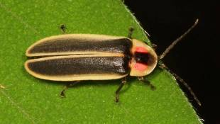 Senate Approves Bill To Name Firefly State Insect