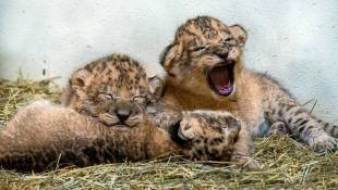 Indianapolis Zoo Welcomes Three Lion Cubs