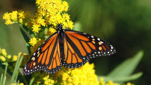 Public Comment Sought On Monarch Butterfly Conservation Plan
