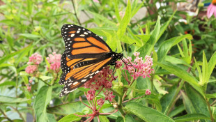 Monarch Butterfly Numbers Are Up