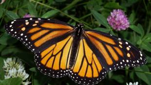 Monarchs Migration Through Indiana Could Be At Risk