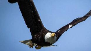 Keep An Eye Out For Eagle-Watching Opportunities This Winter
