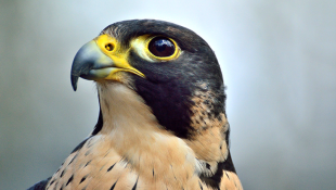 Peregrine Falcons Thriving In Indiana