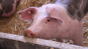 Indiana Packers To Shutter Delphi Facility, Majority Of State's Pork Processing Now Halted