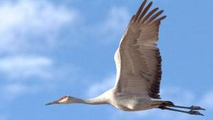 Sandhill Cranes Making Migration Stop In Indiana Marshes